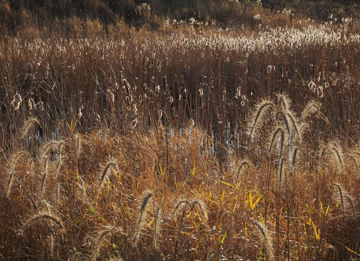 Cattails and grasses, detention basin