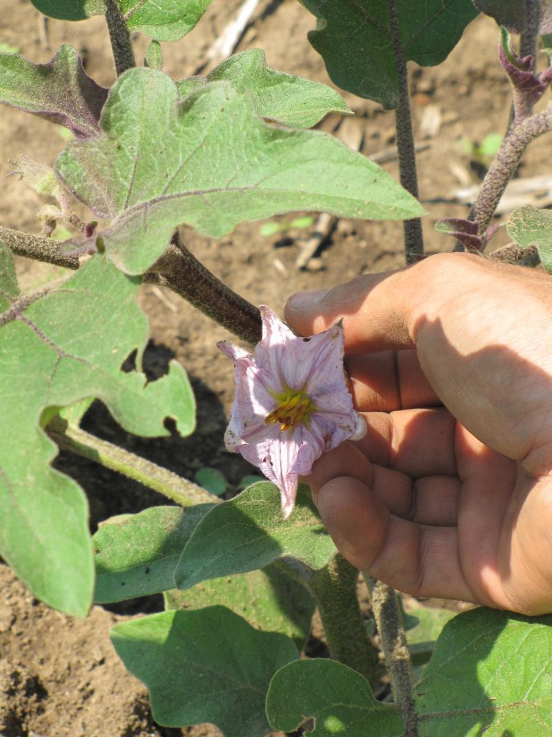 """Eggplant """"under development"""""""