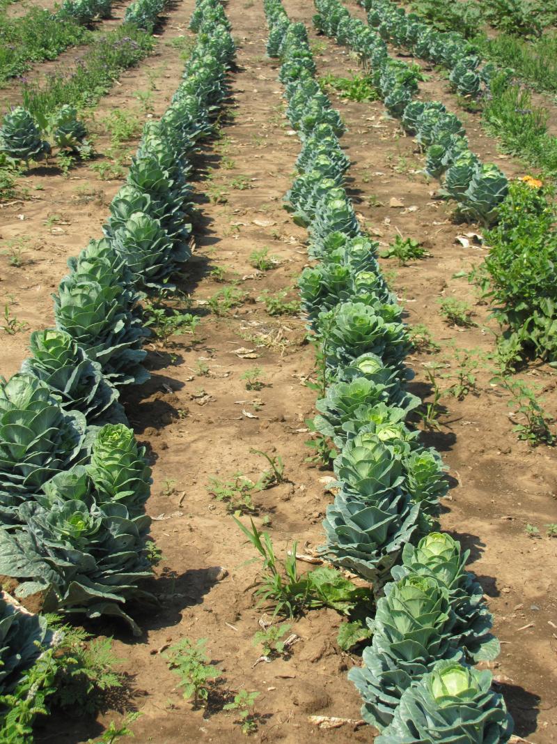Ornamental cabbage plants