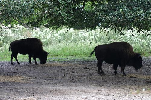 American bison can be found in south central Wisconsin