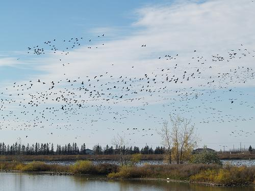 Canada geese can be found in Horicon Marsh Wildlife Area