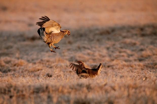 Dancing prairie chickens can be found in central Wisconsin