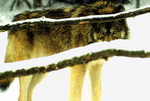 Gray Wolves can be found in north central Wisconsin