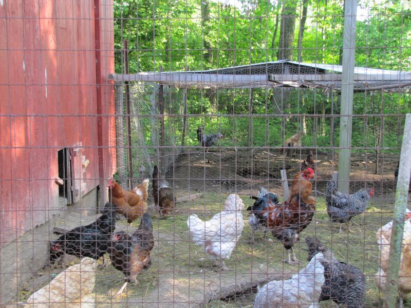 Three dozen hens add to Center's biodiversity.