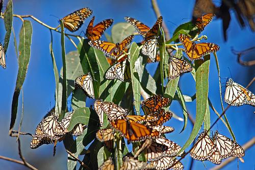 Monarch butterflies can best be seen in Baileys Harbor