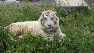 The Rescue also houses a rare white tiger, whose pigmentation is the result of a genetic mutation - in this case, done on purpose through breeding.