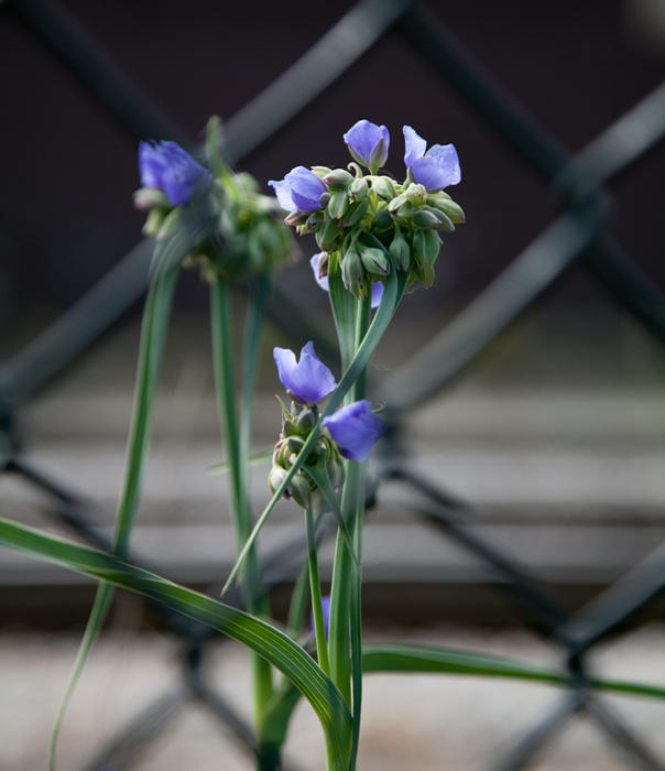 Spotting Spiderwort