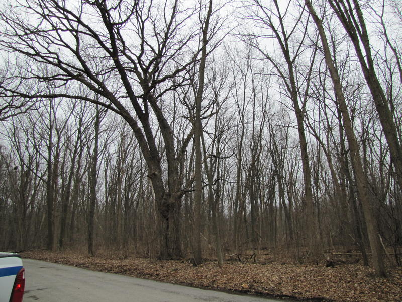 Ash trees are a major element of this forested area next to a parking lot in Whitnall Park.  Teams will remove the ash closest to the parking lot for safety's sake.
