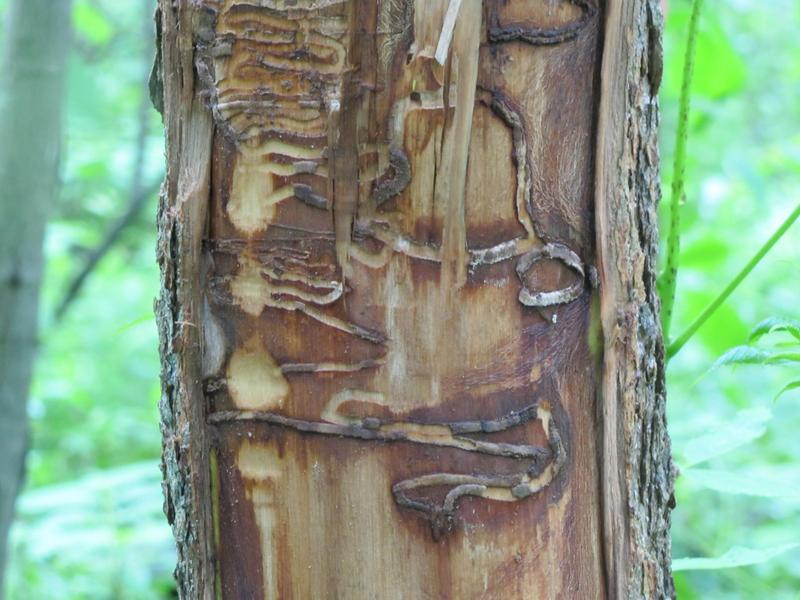 An EAB-infested tree at Riveredge Nature Center.
