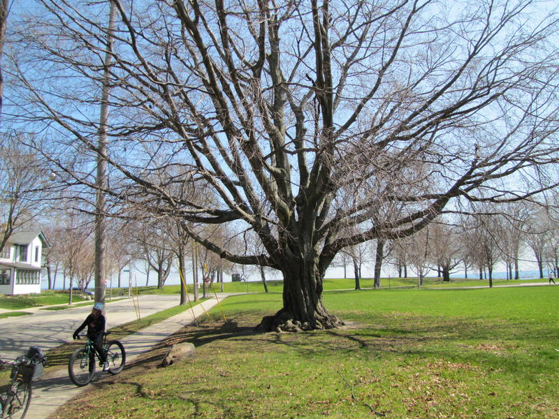 Historic European copper beech tree in South Shore Park