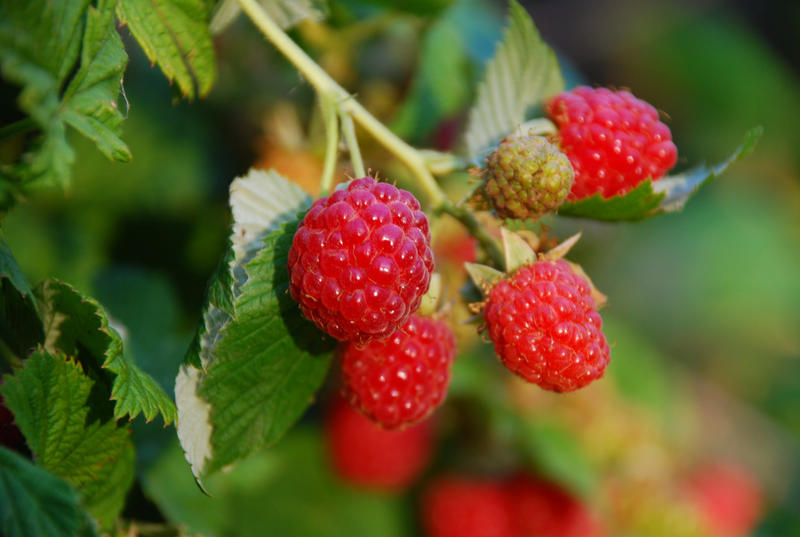 The cooler summer the Midwest has been experiencing has delayed the growth and maturity of many garden plants.