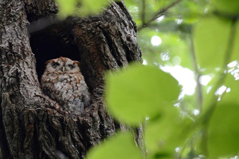 An Eastern Screech Owl at the Schlitz Audubon Nature Center.