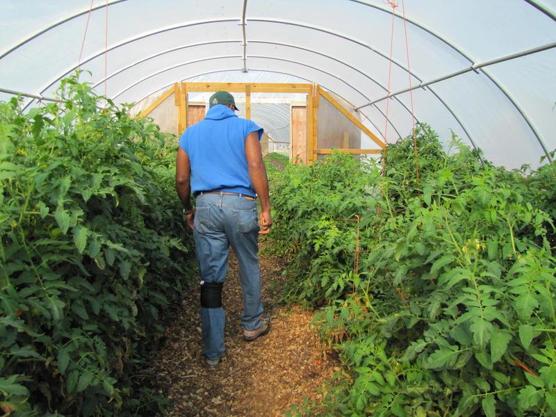 Will Allen surveys the tomato crop.