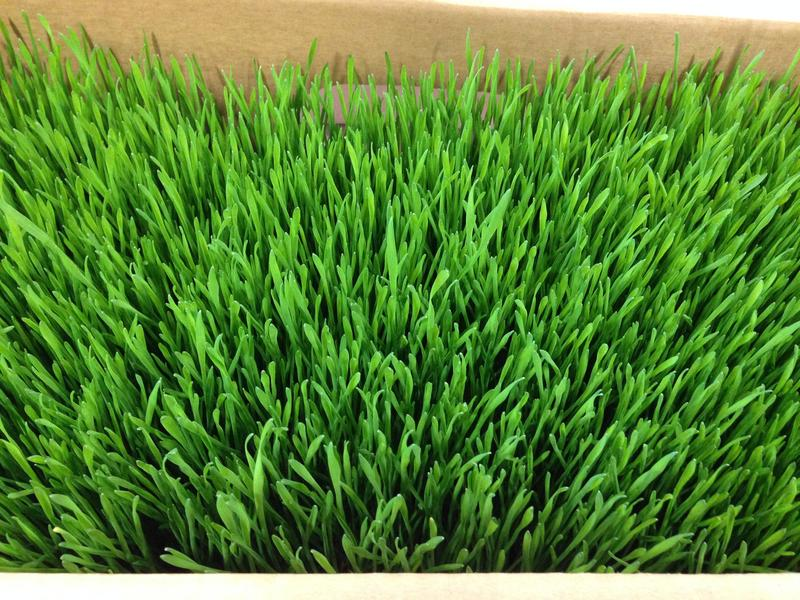 Wheat grass for juice.