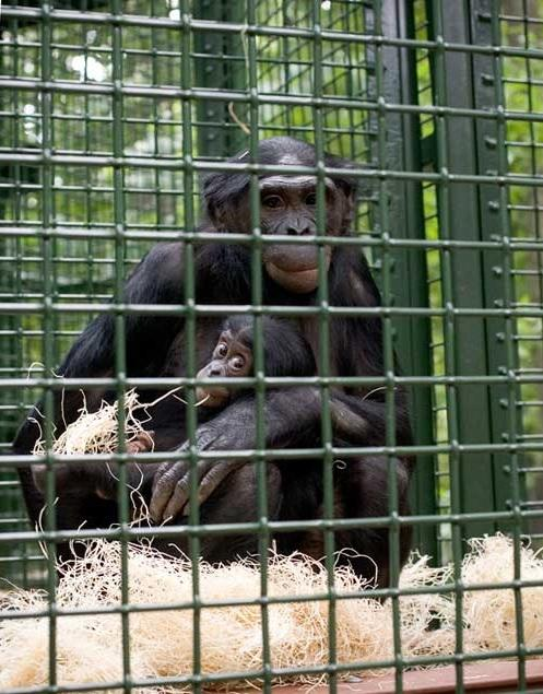 The Milwaukee County Zoo maintains one of the largest groups of captive bonobos in North America, and its outdoor play area is the first of its kind at a public zoological institution.