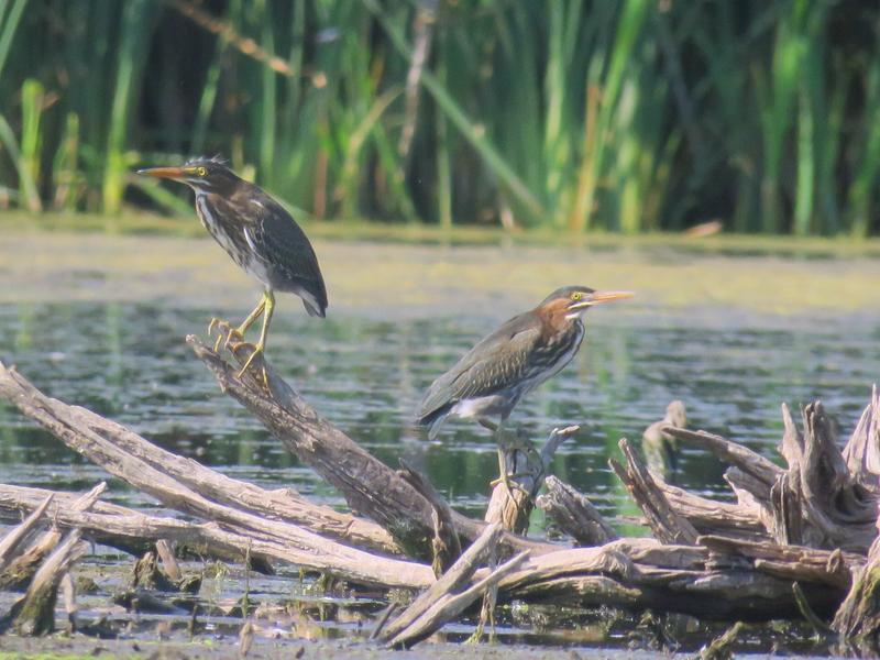 Juvenile green heron with adult