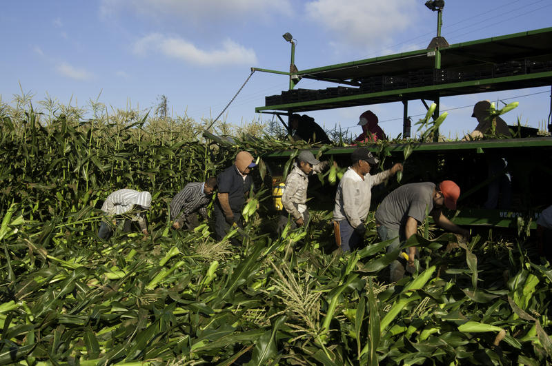 Migrant workers harvest corn on Uesugi Farms in Gilroy, CA.