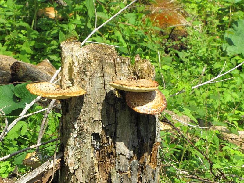 The pheasant back mushroom is edible.