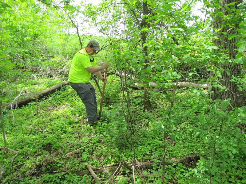 Jozwik harvesting burdock roots.