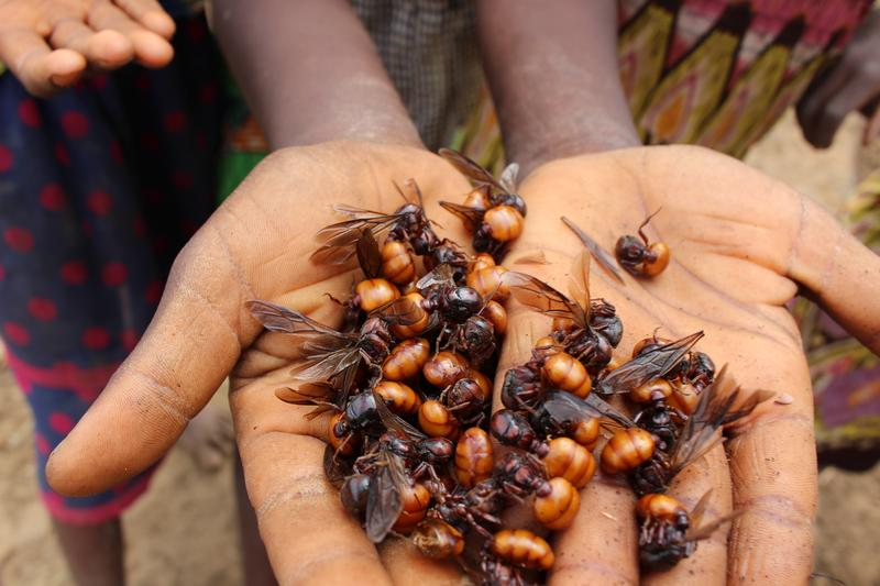 Some two billion people worldwide eat insects as a regular part of their diet.