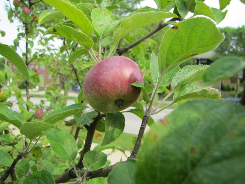 The orchard is beginning to bear fruit.
