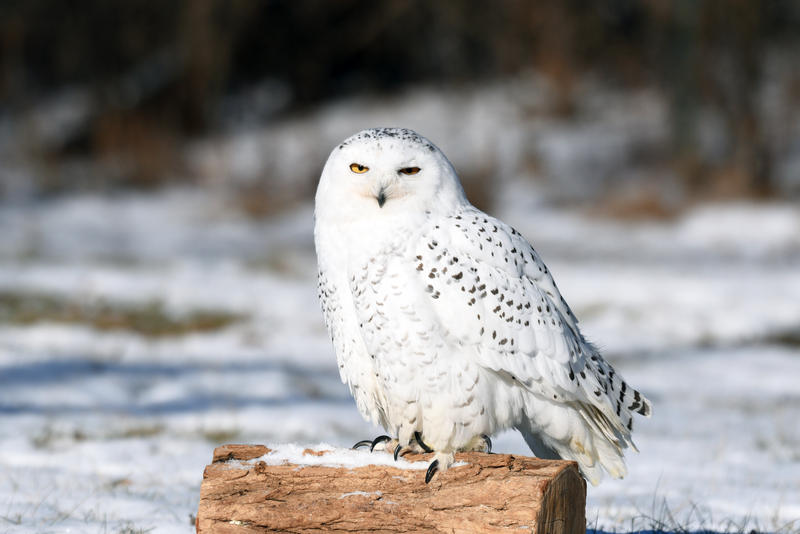 Wind Chill McCloud, a resident Snowy Owl at the Schlitz Audubon Nature Center.