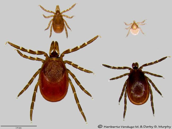 Deer or blacklegged ticks can cause Lyme disease. Top row: Nymph and larva. Bottom row: Adult female and male.