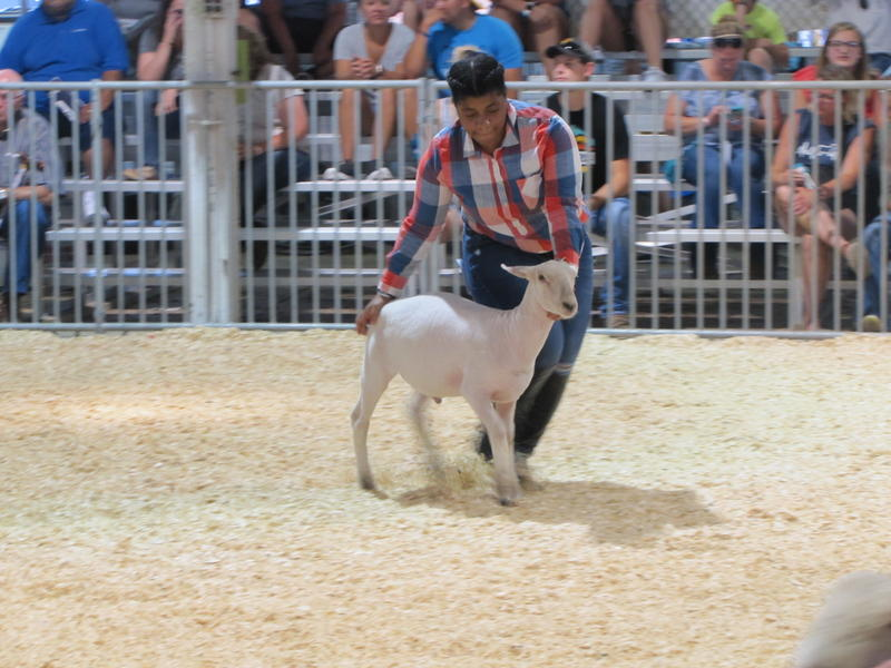 Kiara LIttle showing Teddy Bear at the Wisconsin State Fair this week.