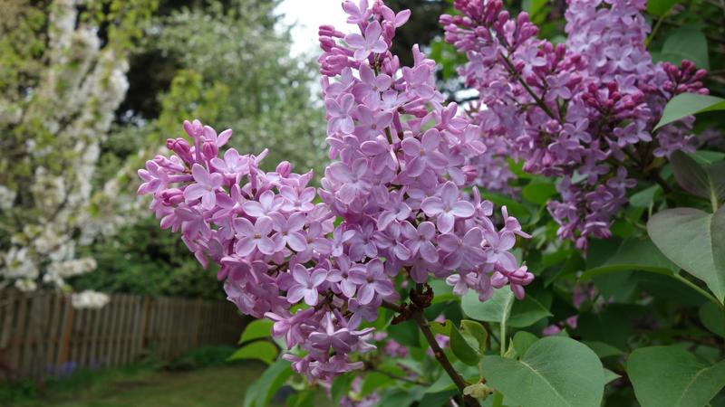Lilacs are just as stubborn as they are beautiful, but Melinda Myers' tip will help keep lilacs under control.