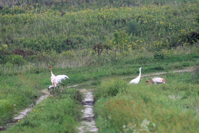 A Wisconsin whooping crane experiment has taken on a family of temporary tenants at Horicon Marsh in the Horicon National Wildlife Refuge.
