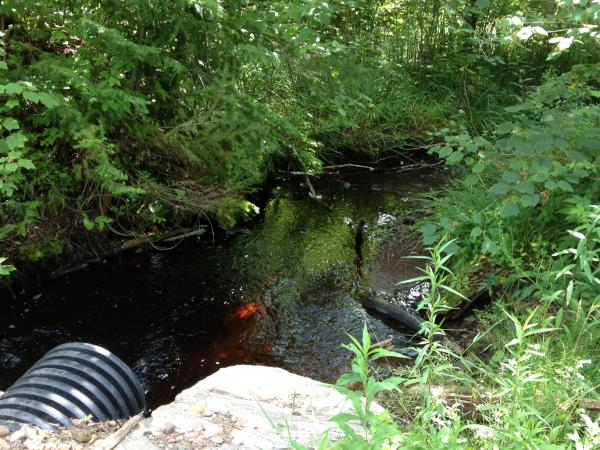 This creek is not part of the Northland College monitoring program.  Matt Hudson discovered this uncharted stream in the Penokees.   Early monitoring of its temperature, along with fish and macro invertebrate surveys indicate it could be a Class 1 trout stream.
