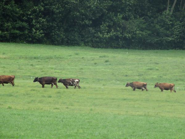 Vernon Hershberger's cows head back to pasture after milking.