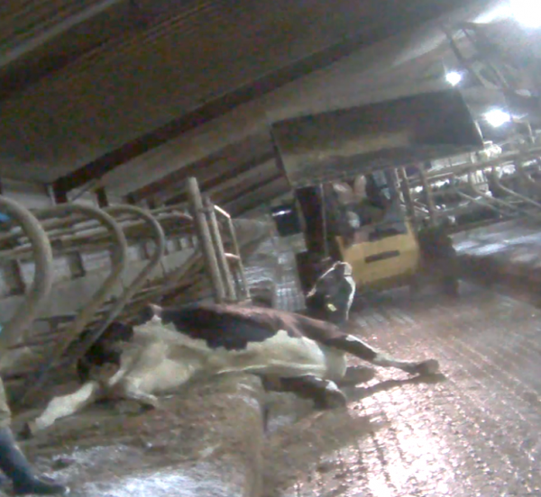 A tractor drags a cow across the floor at Wiese Brothers dairy farm