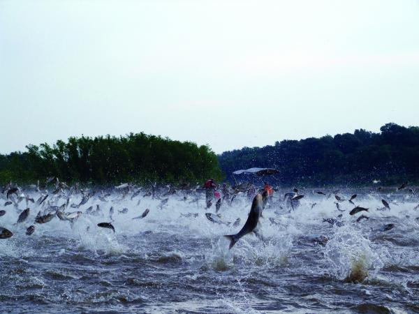 "Asian carp ""flying"" on the Illinois River overwhelm a boat of onlookers. (Courtesy of University of Wisconsin Sea Grant/Water Resources)"