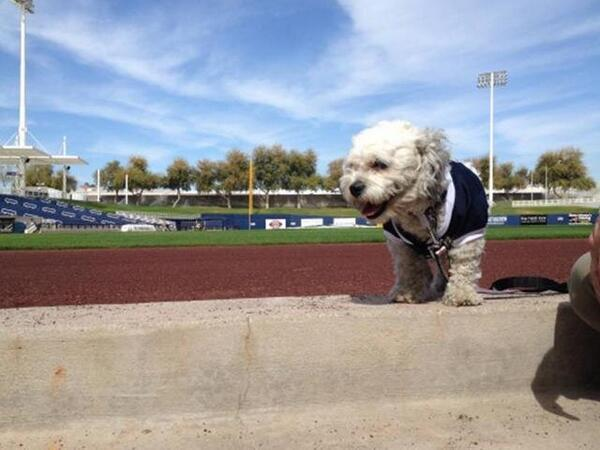 The Milwaukee Brewers' unofficial spring training mascot Hank takes a break from fielding balls during practice.