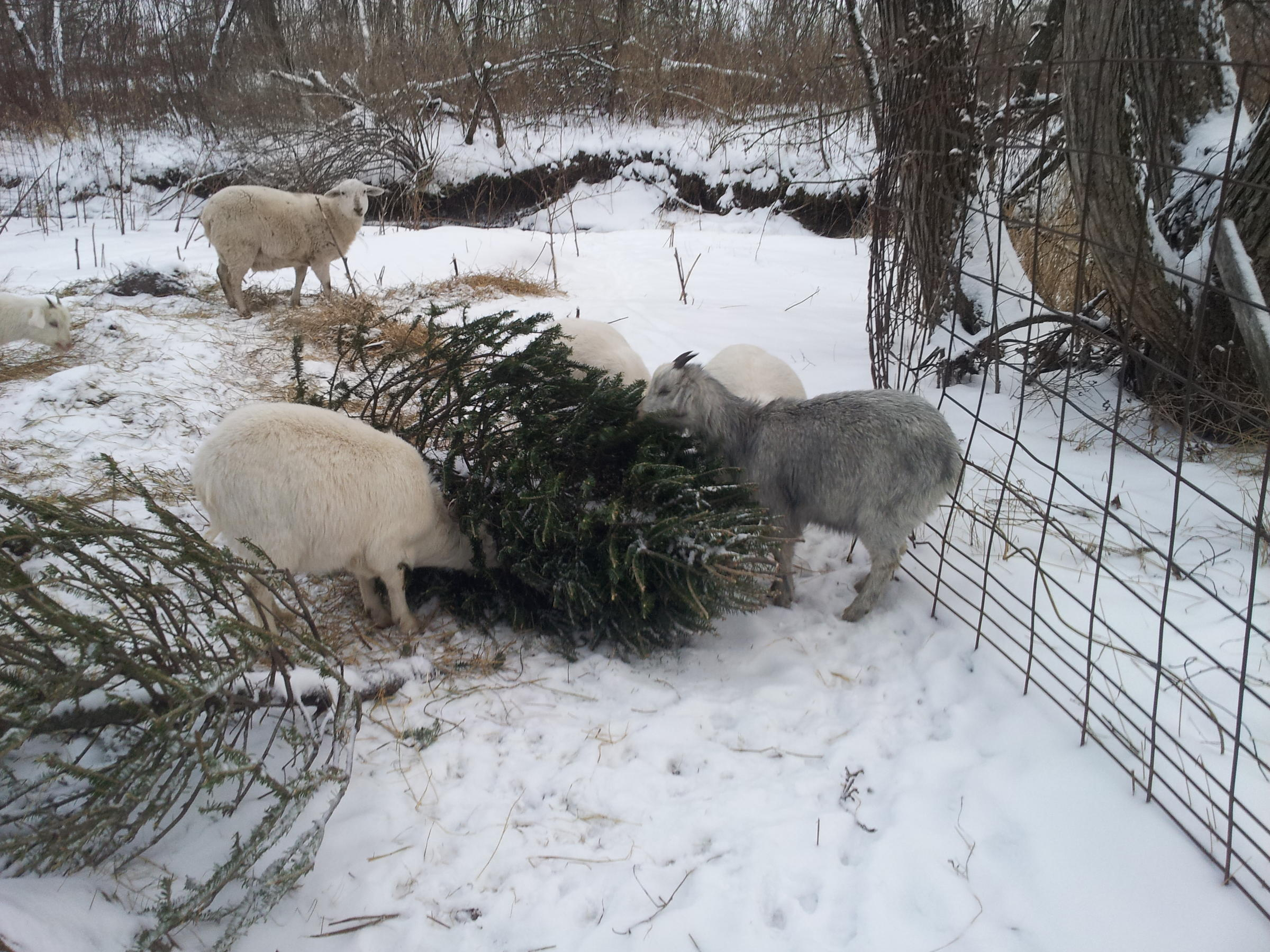 Old Christmas Trees : Healthy Snack for Some Lucky Wisconsin Goats ...
