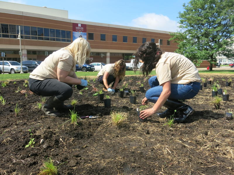 Planting the prairie in downtown Davenport.