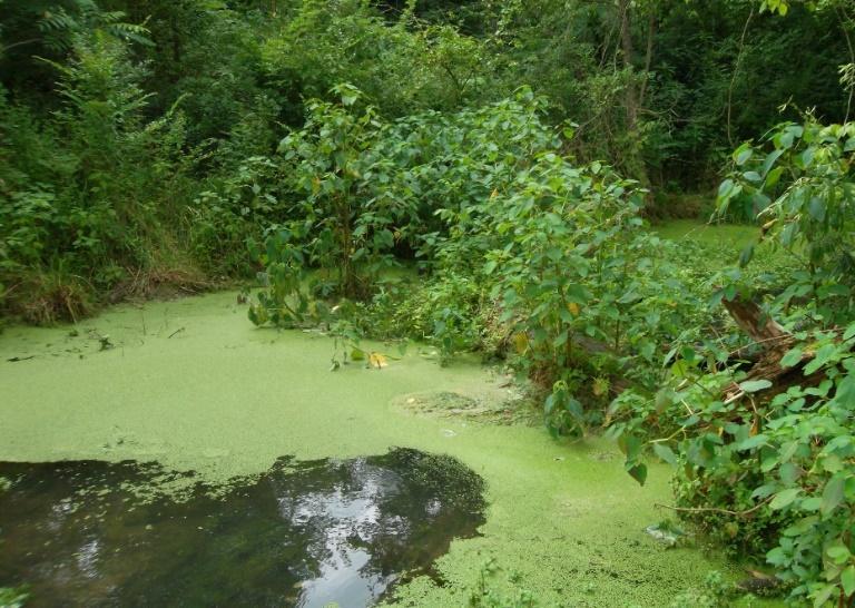 Algae bloom on spring fed pond downstream of dairy CAFO