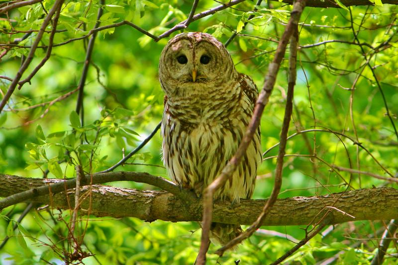 A brown and cream-colored owl perches on a tree branch with green leaves in the background.