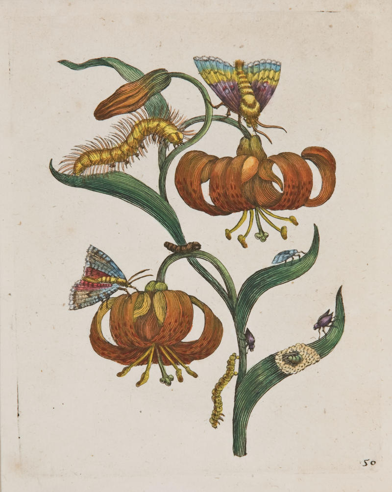 Maria Sibylla Merian, Plate 50 from Erucarum Ortus, Alimentum et Paradoxa Metamorphosis, 1717, Hand-colored engraving. Augustana Teaching Museum of Art, Purchase through gift of George and Pat Olson, 2010.36.