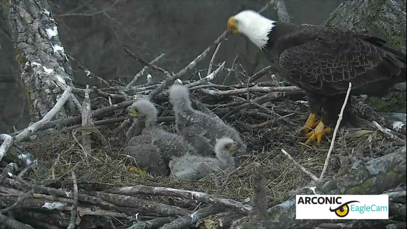"""Three little eaglets, sittin' in a tree..."""
