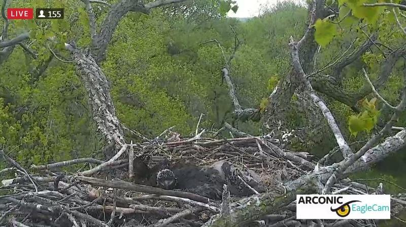 A large nest holds three eaglets that look like a mass of dark gray and light gray feathers in the middle.