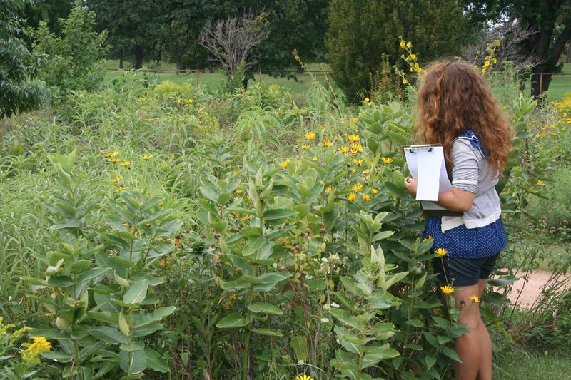 Searching for milkweed and signs of Monarch breeding