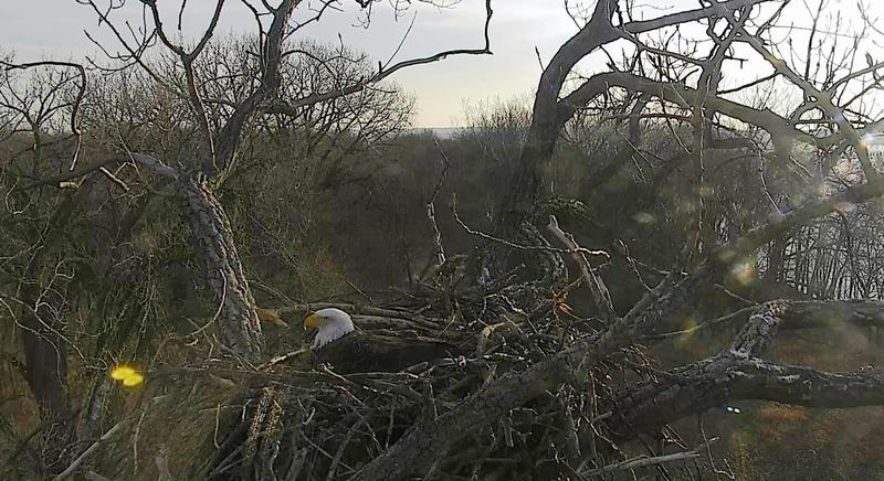 One of the Arconic eagle parents sitting on the nest near the plant in Riverdale