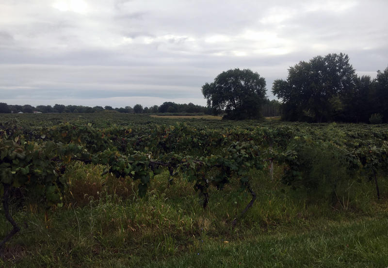 grapes in Southwest Michigan