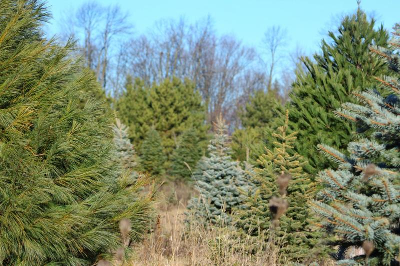 Christmas Trees in a farm