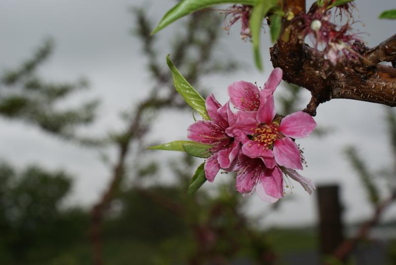 Berkeley County, W.Va., orchard blossom