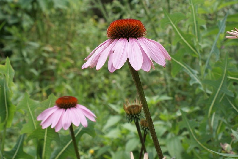 Cone flower, Berkeley County, W.Va.