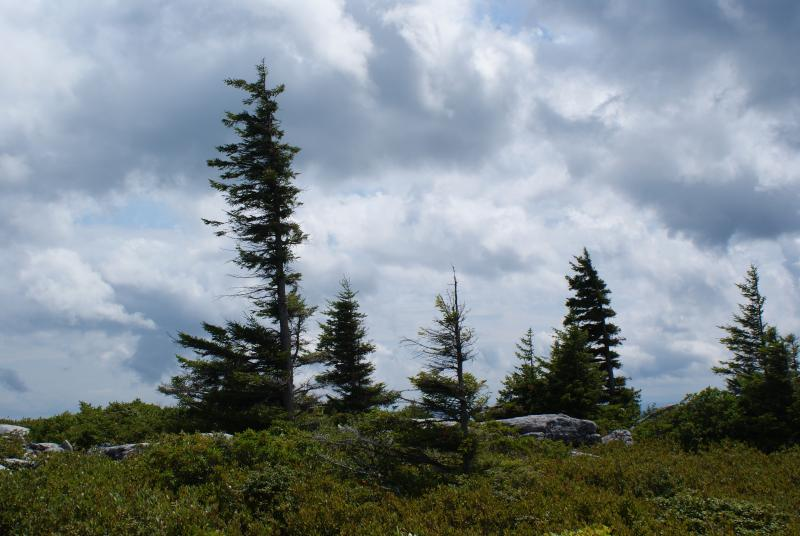 Wind swept trees, Dolly Sods, W.Va.