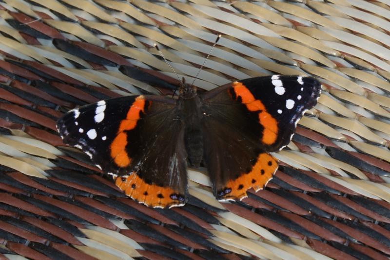 Butterfly, Hardy County, W.Va.